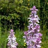 Salvia-sclarea